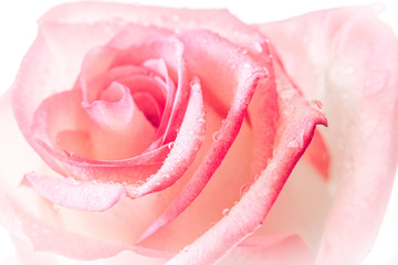 closed up of sweet pink rose flower for valentines day and wedding background, selective focus