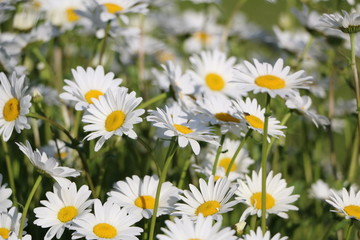 Chamomile garden. white flowers of Russian chamomile daisy. Beautiful nature scene with blooming medical chamomilles in sun flare. Alternative medicine Spring Daisy. Summer flowers.