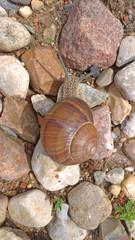 A large grape snail crawls on a stone, sitting on a rock