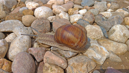 A large grape snail crawls on a stone, sitting on a rock