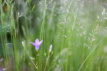 Harebell purple flower blooming close view