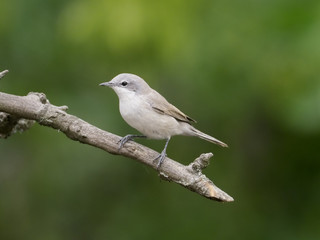 Fotoväggar - Lesser whitethroat, Sylvia curruca