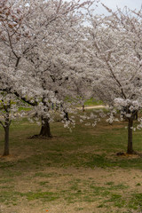 Almonds trees blooming