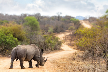 Rhino on the road