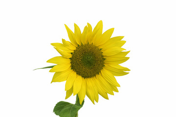 Single beautiful sunflower with leaves isolated on a white background.