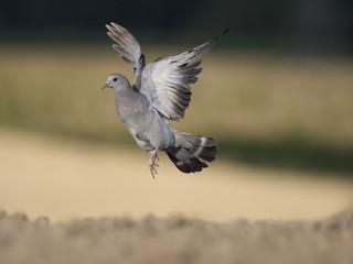 Fotoväggar - Stock dove, Columba oenas