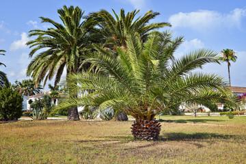 Branchs of beautifull palm tree