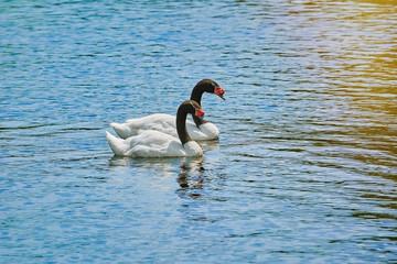 Pair of Black-necked Swans