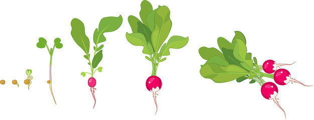 Stages of radish growth from seed and sprout to harvest