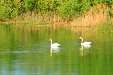 Swans couple on the lake