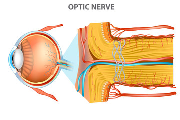 The Optic Nerve. Anatomy of the Eye