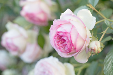 Photograph of pink Eden Roses blooming on the bush in the garden