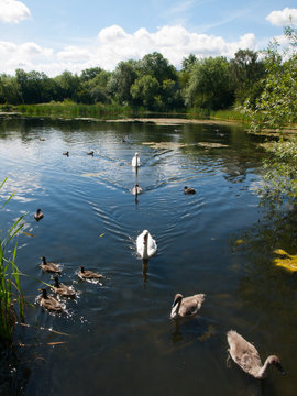 Swans with signets and ducks