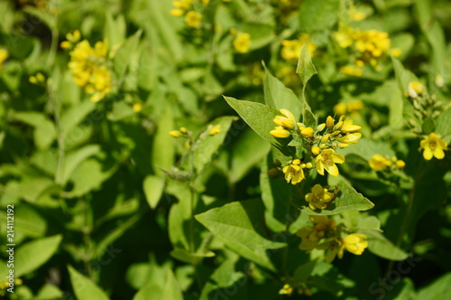 Solidago Virgaurea Tall Plant With Arrays Of Yellow Flowers Stock
