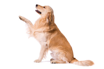 Purebred Golden Retriever giving paw