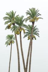 Date Palm trees bearing fruit