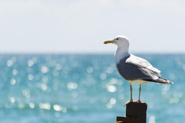 The seagull sits on a iron fence. Wings of a bird. Sea bird.