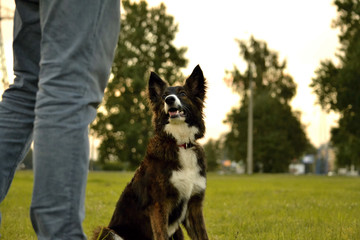 Young energetic dog on a walk. Puppies education, cynology, intensive training of young dogs. Walking dogs in nature.