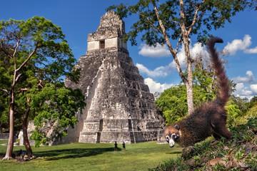 White-nosed Coati (Nasua narica), Tikal, Temple I, Guatemala