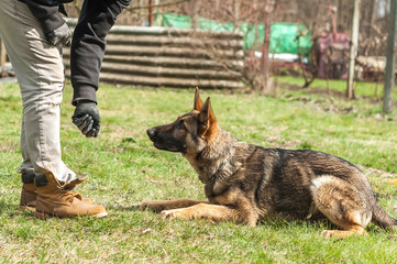 German shepherd puppy training at spring