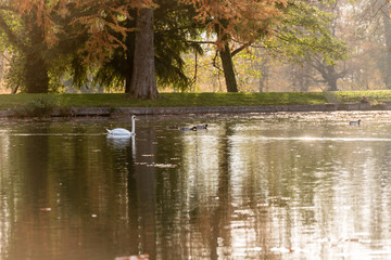 White swan swimming in lake in autumn