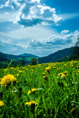 grassland view in the Austrian alps with flowers in the foreground