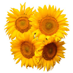 Flower bouquet sunflowers isolated on white background. The seeds and oil. Floral arrangement. Picturesque and conceptual scene. Flat lay, top view