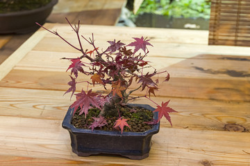 Bonsai tree  - Japanese maple