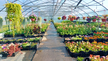 Growing flowers and green plants in a greenhouse. Production and cultivation of flowers. Young planting in a greenhouse