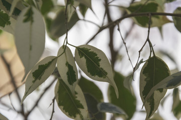 white leaves of euonymous on branches