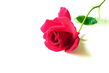 Close up of a Red Rose isolated on a white background