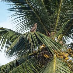 Bird of prey perched at the top of a coconut tree in Tamil Nadu, India