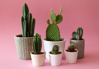 Stores photo Cactus Several cactus plants in cement and white pots isolated on colorful, pastel pink background.