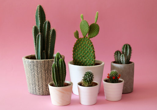 Several cactus plants in cement and white pots isolated on colorful, pastel pink background.