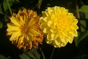 Two dahlias like two sisters