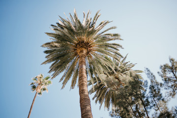 Palm trees with blue sky on the background