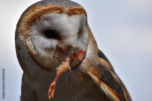 Portrait Of A Cute Small White Owl Eating A Chicken Foot With A