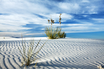 Yucca in the White Sand at White Sands National Monument, New Mexico