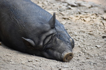 Closeup of a brown sleeping big pig in a park in Germany
