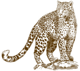 engraving drawing illustration of leopard