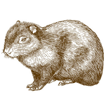 engraving drawing illustration of common agouti or sereque