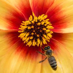 Bee And Dahlia