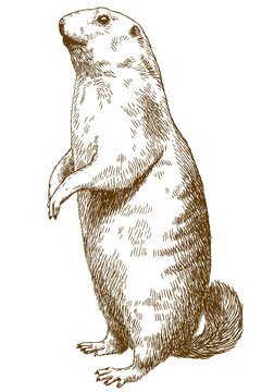 engraving drawing illustration of marmot
