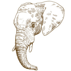 engraving drawing illustration of elephant head