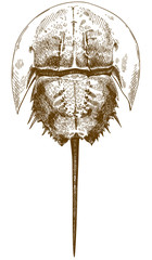 engraving drawing illustration of horseshoe crab top view