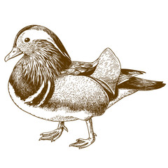 engraving drawing illustration of mandarin duck