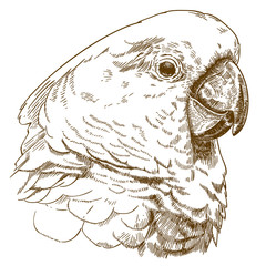 engraving drawing illustration of white cockatoo head