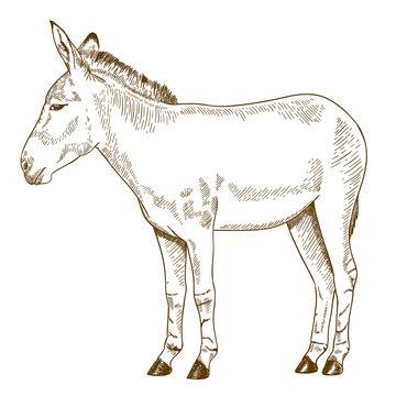 engraving drawing illustration of somali wild ass