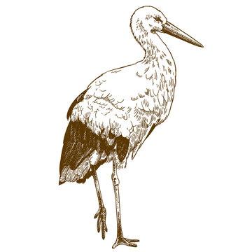 engraving drawing illustration of stork