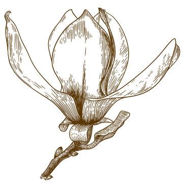 engraving  illustration of magnolia flower